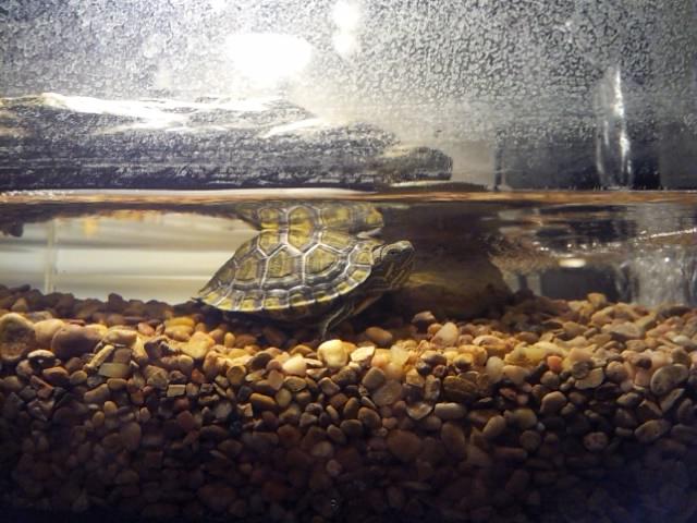 My red eared slider turtle named Slippy