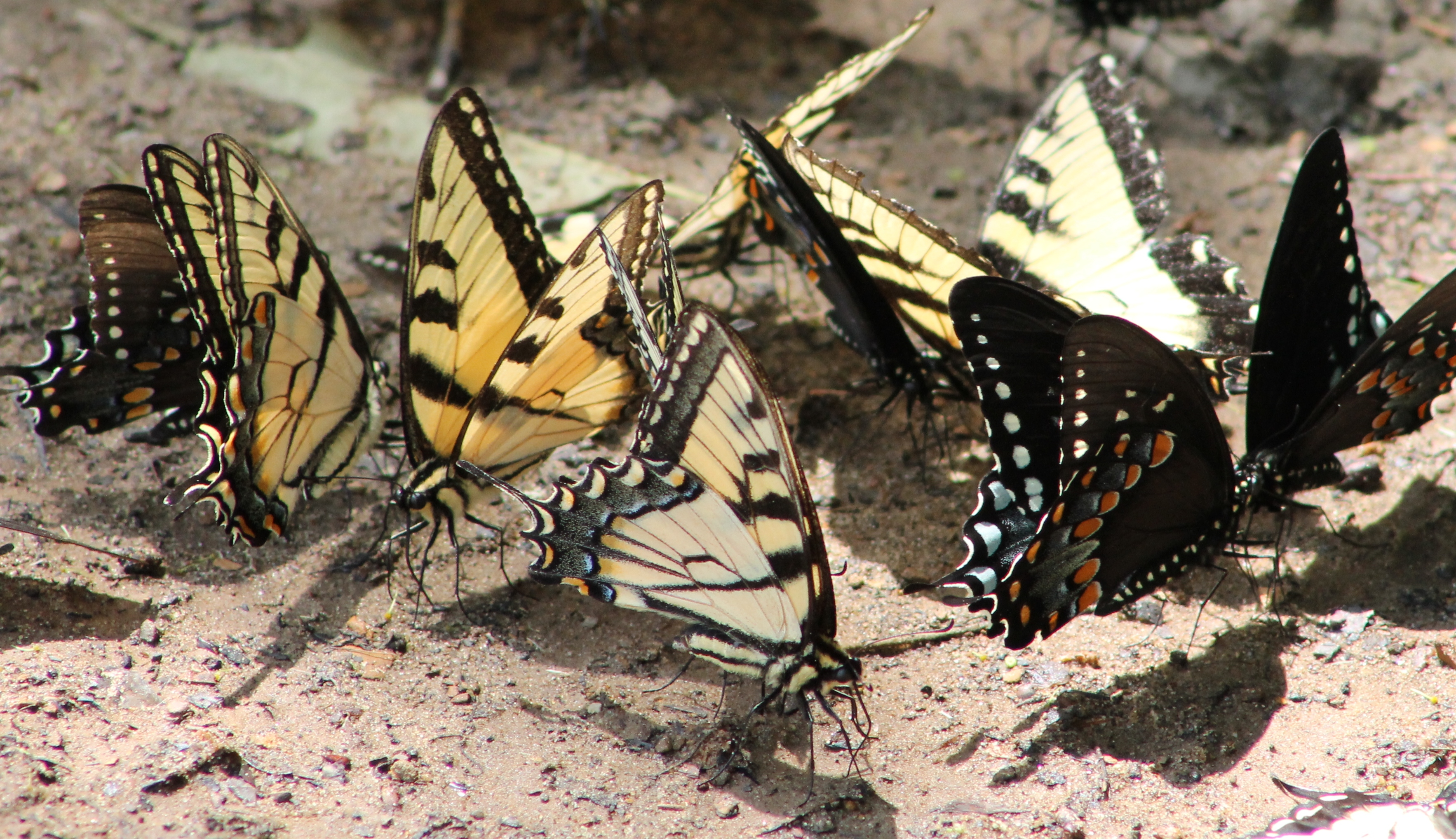 Butterflies by the Mulberry