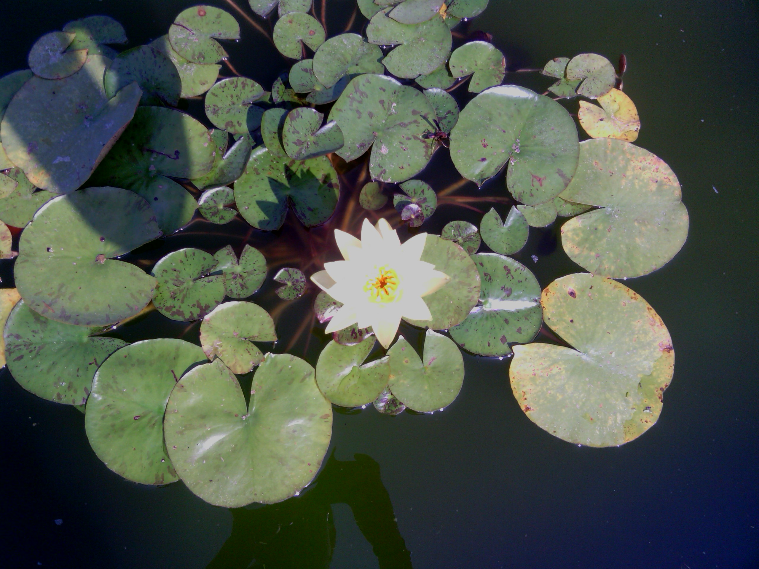 me and my grandma made a water lily pond and this was its first bloom