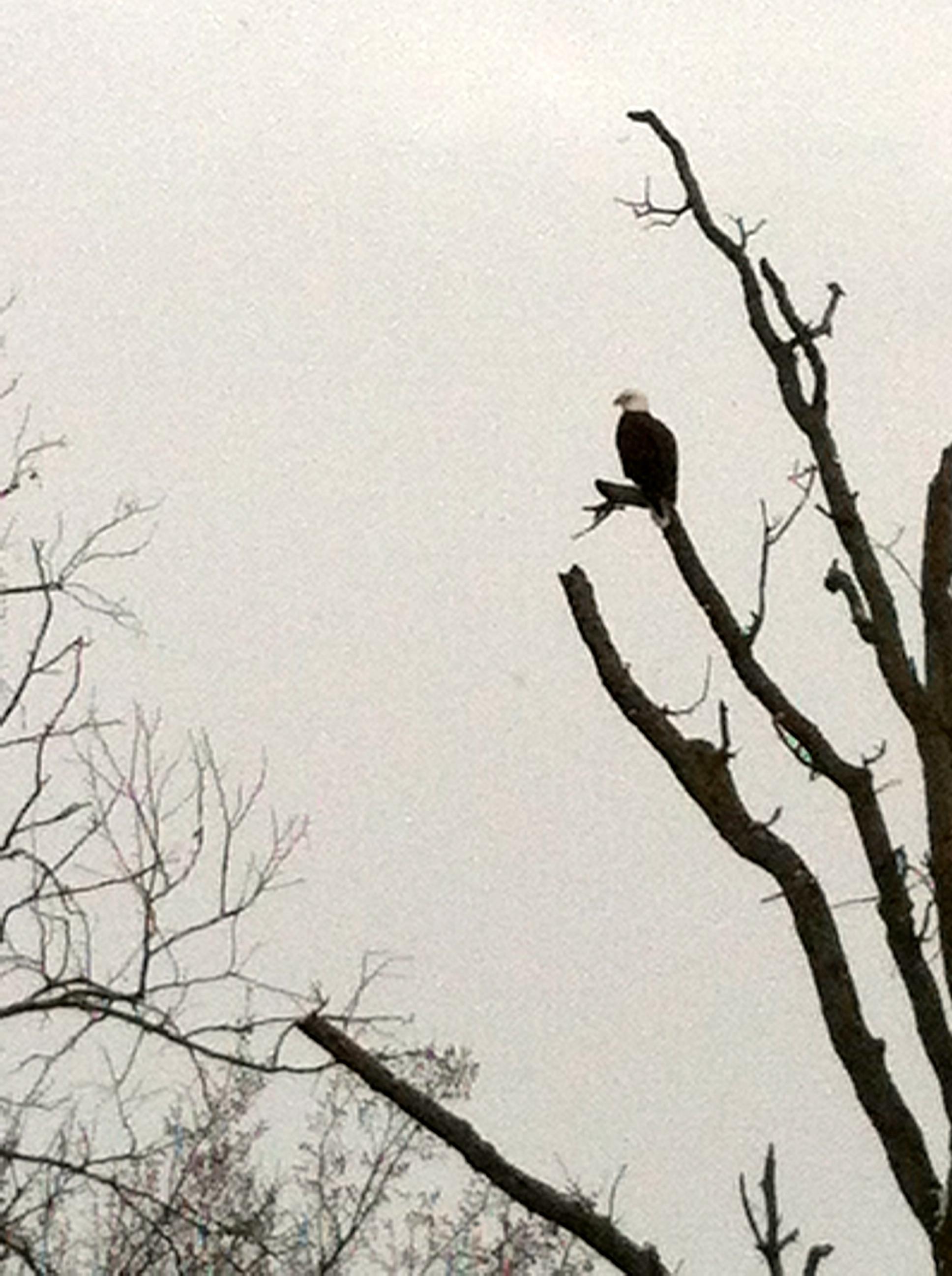 eagle in bentonville