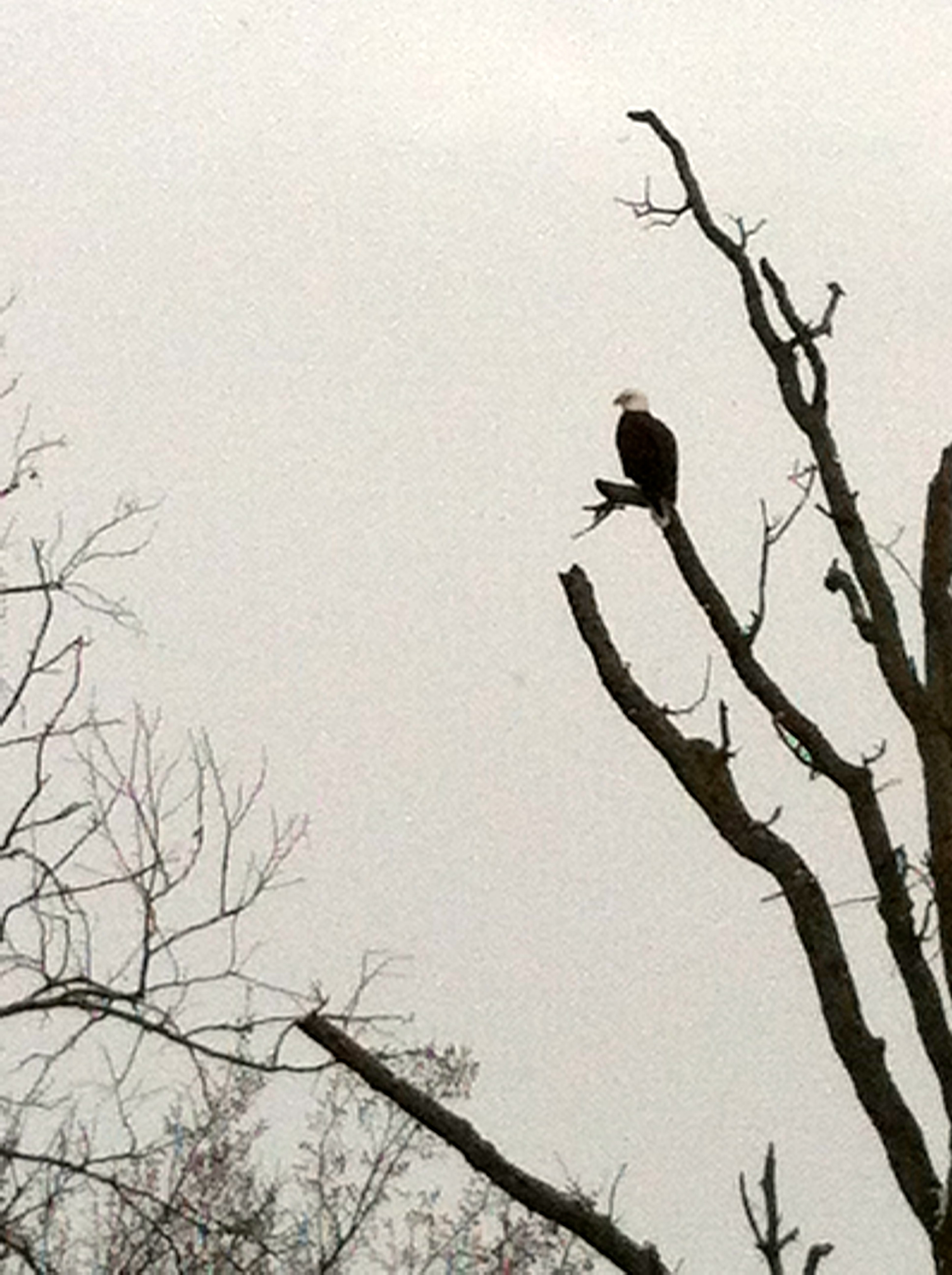 bald eagle in bentonville
