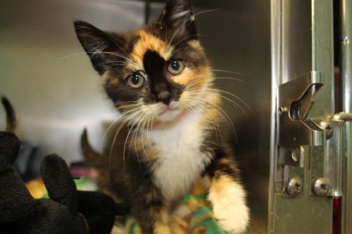 Suzy Q is one of the kittens available for adoption.