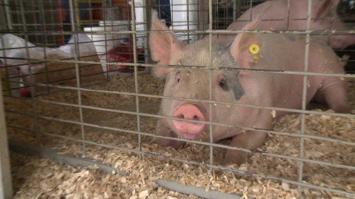 Eureka Springs To Enforce A 1952 Ordinance Banning Pigs