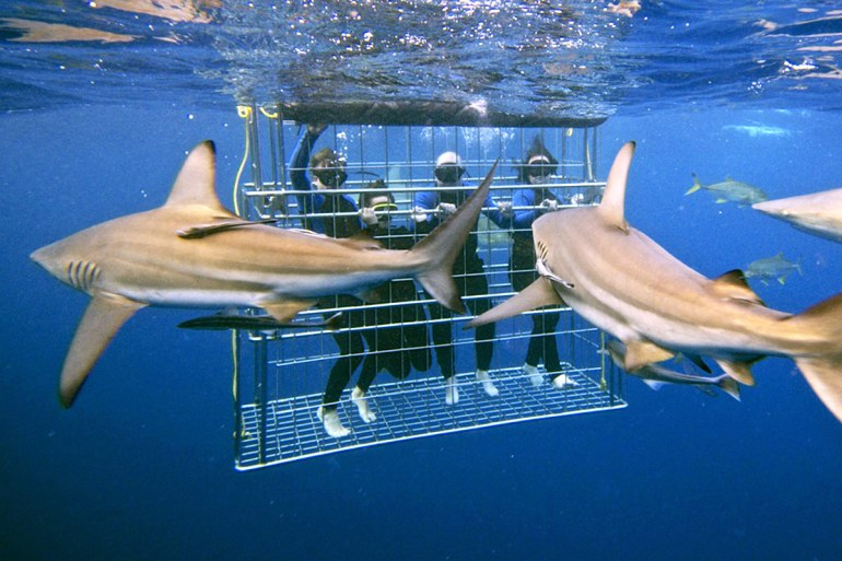 Kwazulu-Natal's unspoiled waters offer sightings of reef sharks, ragged-tooth sharks and giant guitar sharks. Each guest spends 30 minutes in the cage during the two-and-a-half-hour trip.