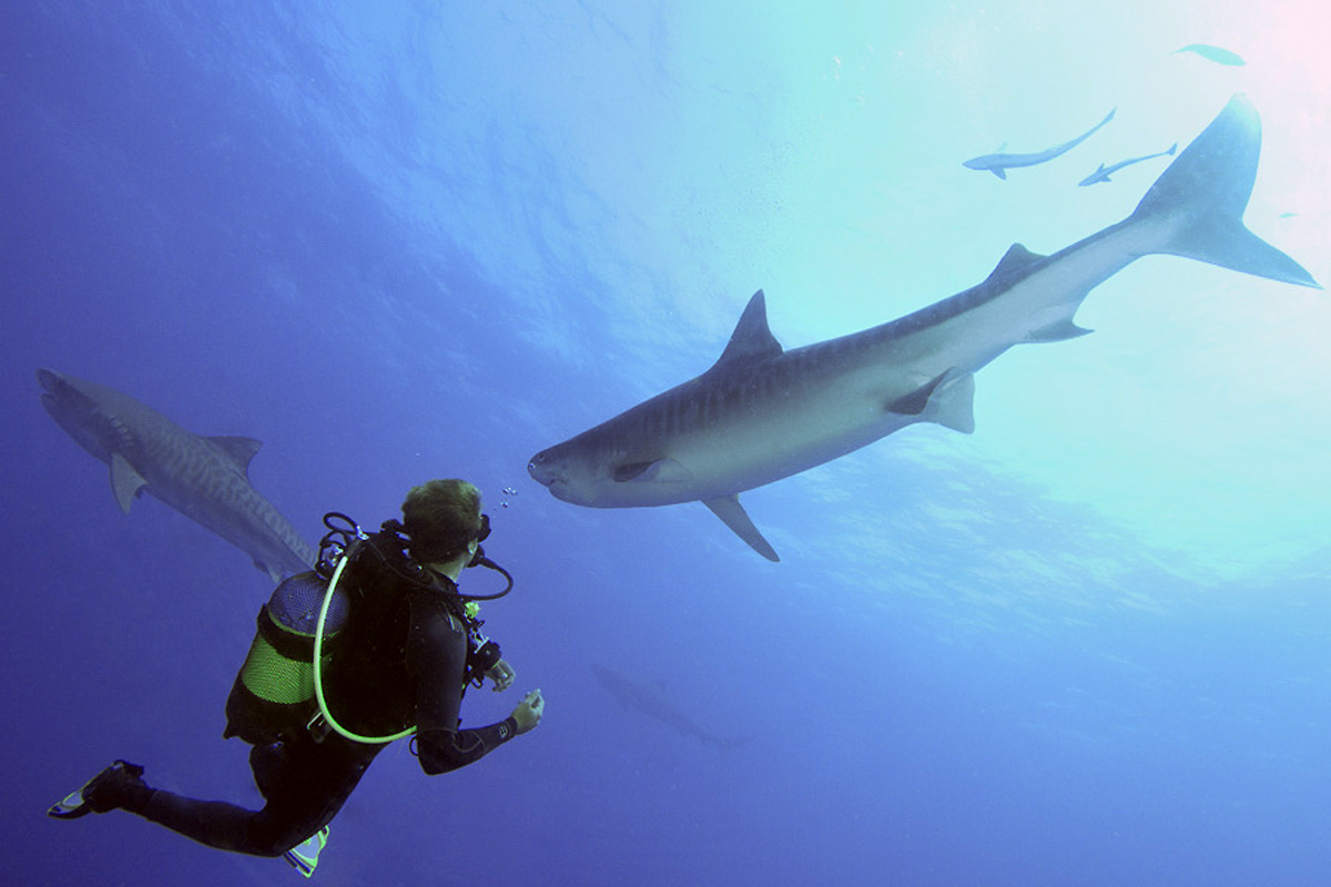 Divers may enounter up to eight different species of sharks in one dive at Protea Banks. During high season, hammerheads and sand tiger sharks can be seen in schools of several hundred.