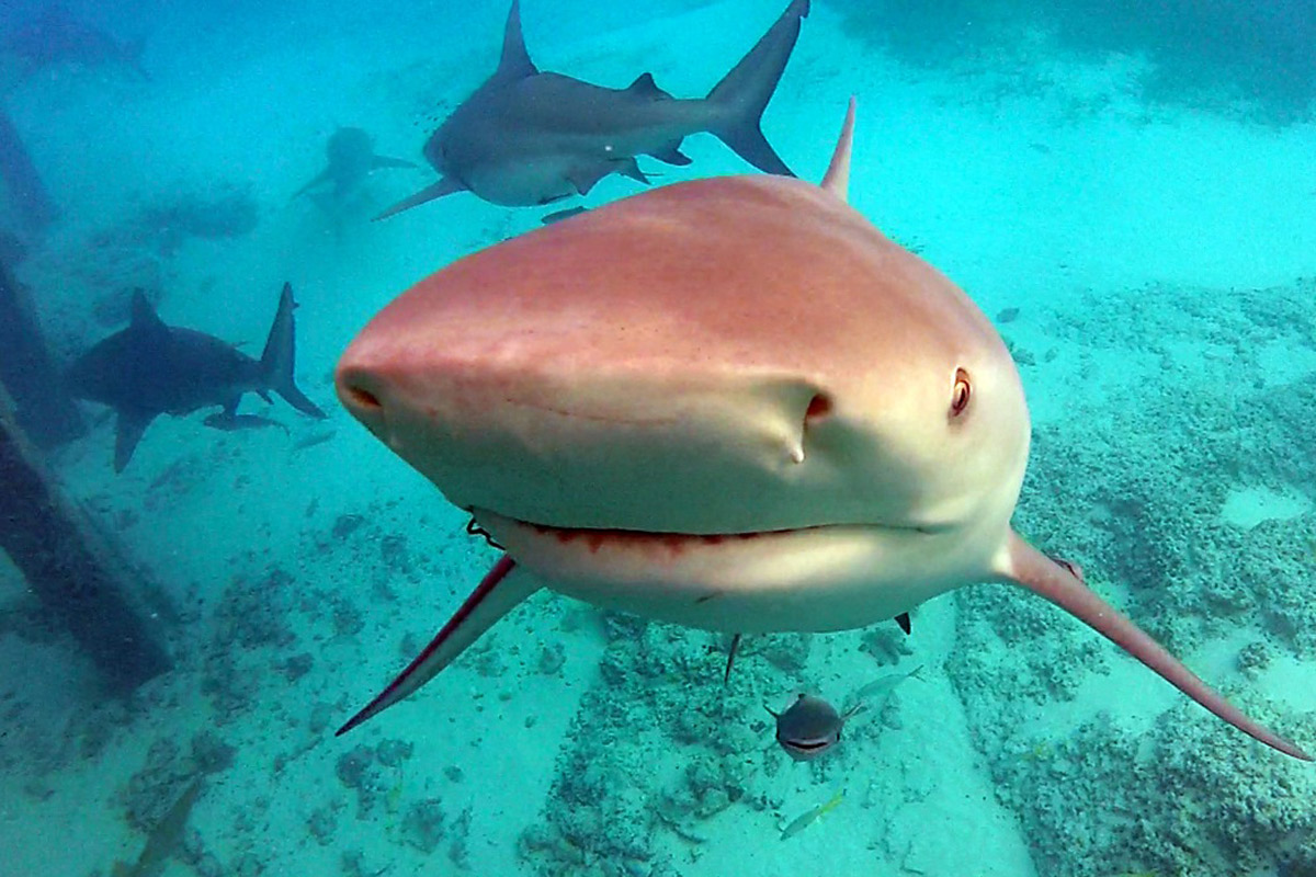 There are around 40 species of sharks in the protected Bahamas waters. It's one of the few places where shark sightings are a daily occurrence, due to the marine park's shark-friendly habitat.