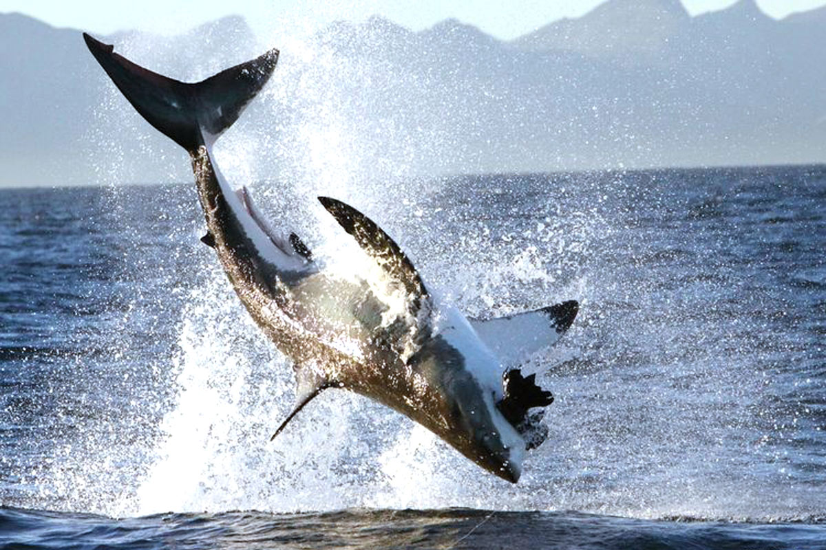 Great White Sharks love to breach at False Bay in South Africa.