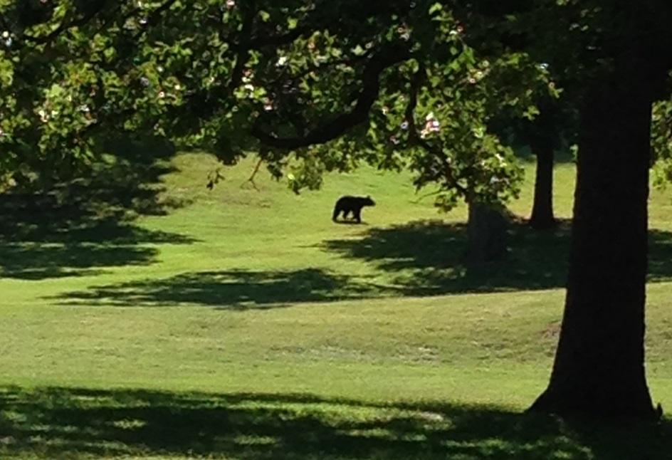 springdale bear