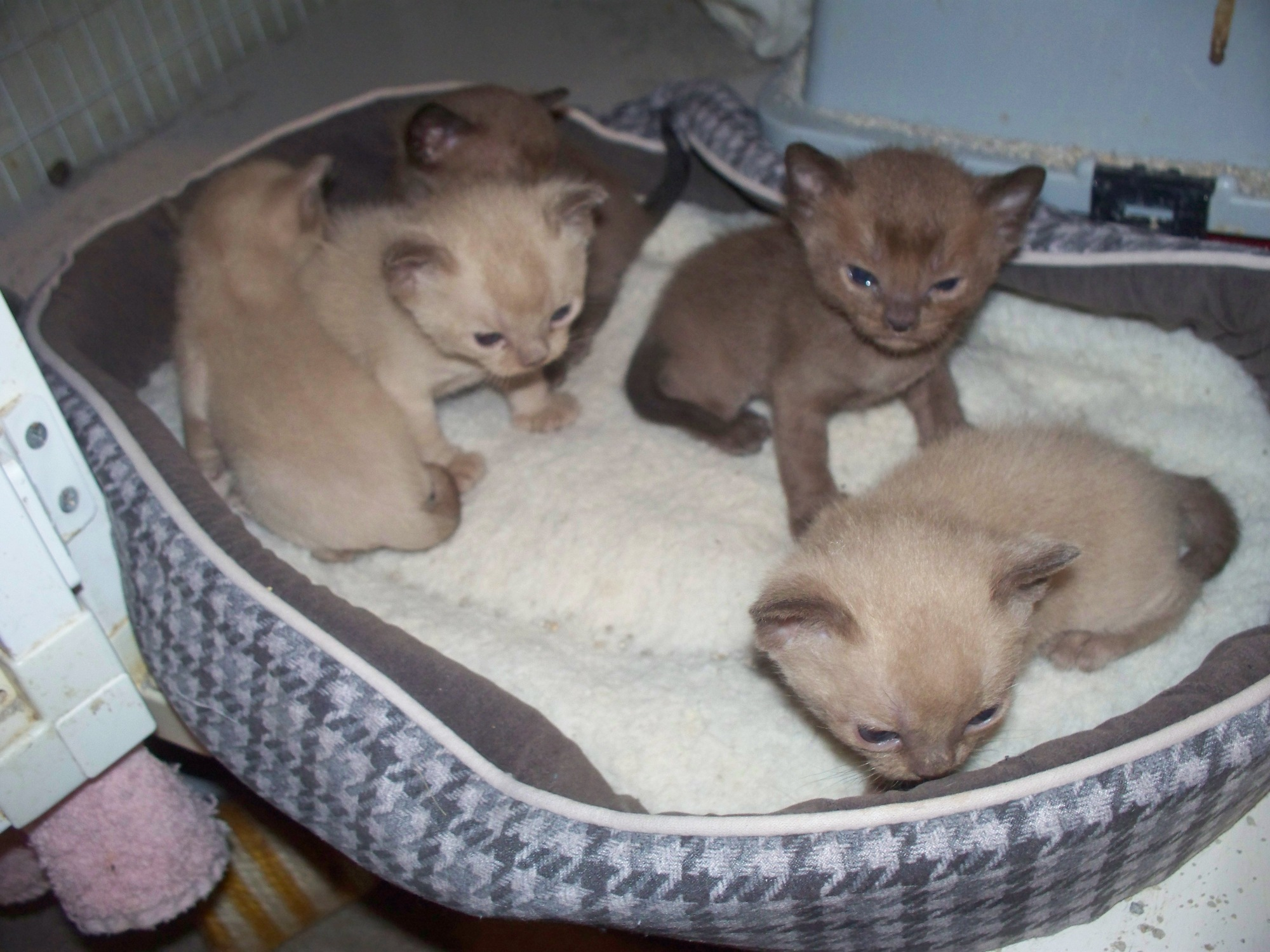 Burmese kittens in Sallisaw, Ok..born 10/7/13