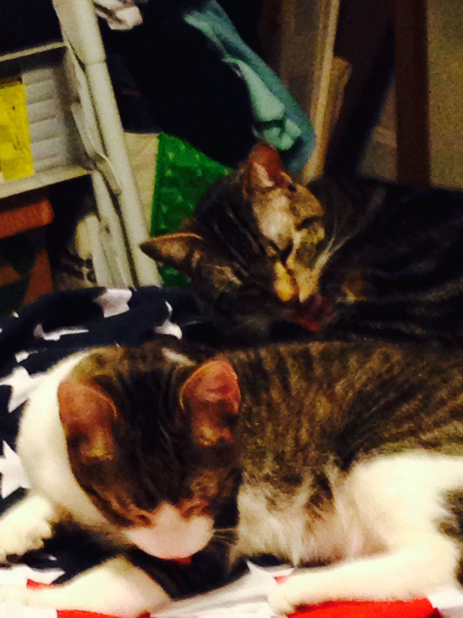 Alley in the front is our newest kitten. He's about six month old. Lucy is nearly three