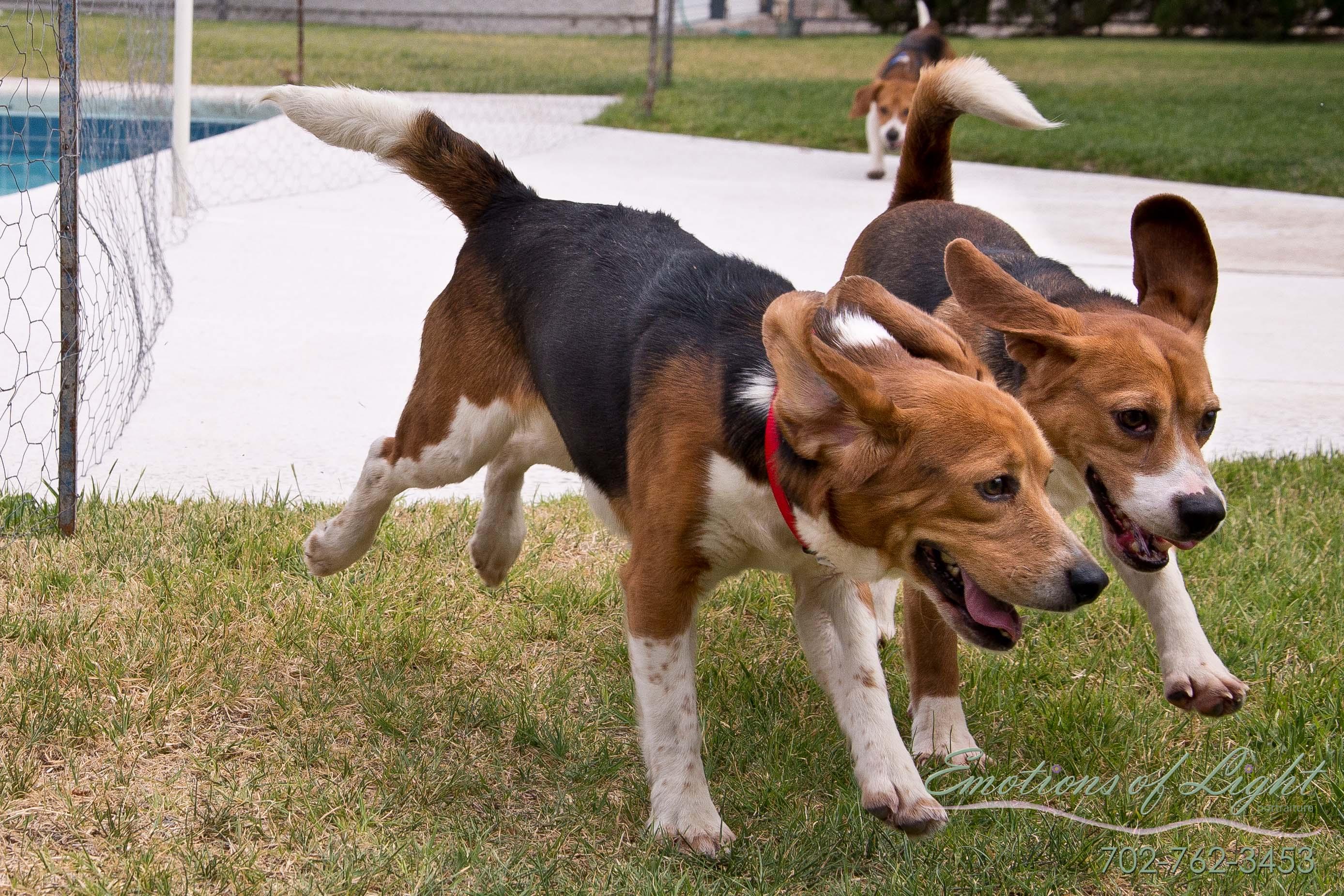beagles 2
