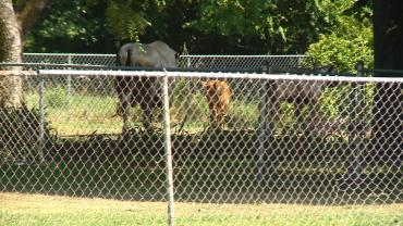 cows loose in springdale