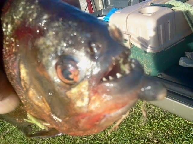 Arkansas Game And Fish Confirms Piranha Caught In Lake Bentonville