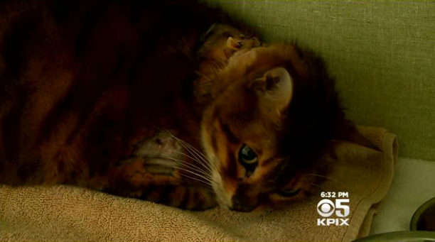 House Cat Survives Bobcat Attack Outside California Home ...