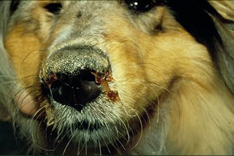Dog infected with canine distemper.  Courtesy: Wikipedia