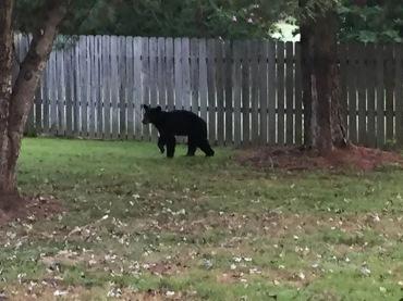 booneville bear4