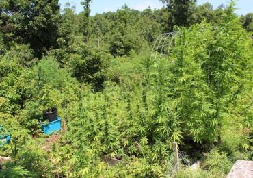 Marijuana plants discovered in Marion County (Courtesy: Marion County Sheriff's Office)