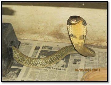An escaped king cobra was reported today to the Florida Fish and Wildlife Conservation Commission (FWC) by its owner, a licensed and bonded individual.  The privately owned nonnative, venomous snake was reported to have escaped in the 4800 block of North Apopka Vineland Road in Orlando. The snake is approximately 8 feet in length and is green and yellow in color. A permit is required to possess a king cobra and owners are required to report escaped animals immediately. This photo is an example of the type of snake FWC is looking for.