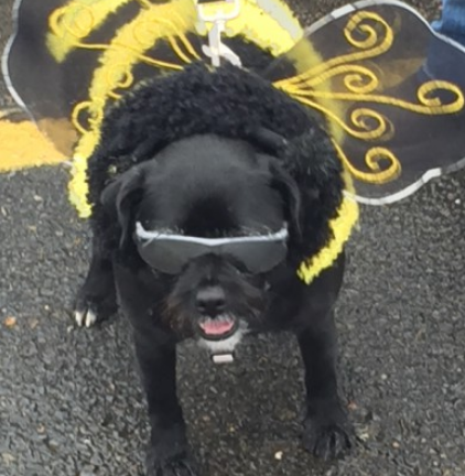 Scout, bumble bee costume contest. She won 1st place in her weight category at Atwoods Sunday 25. 2015. HAPPY HALLOWEEN.