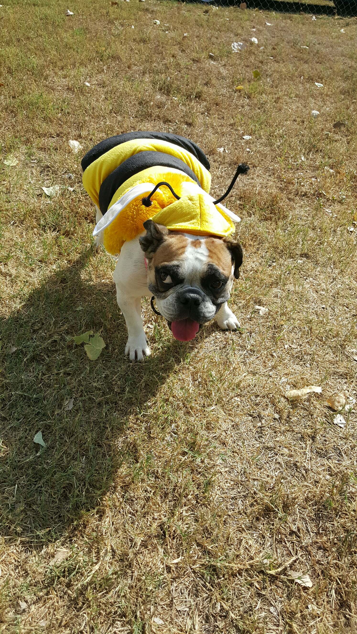 Zoie, the bulldog bumble bee.