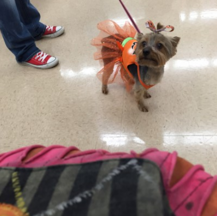 This is my Yorkie. She was in the petco pet costume contest this past Saturday.