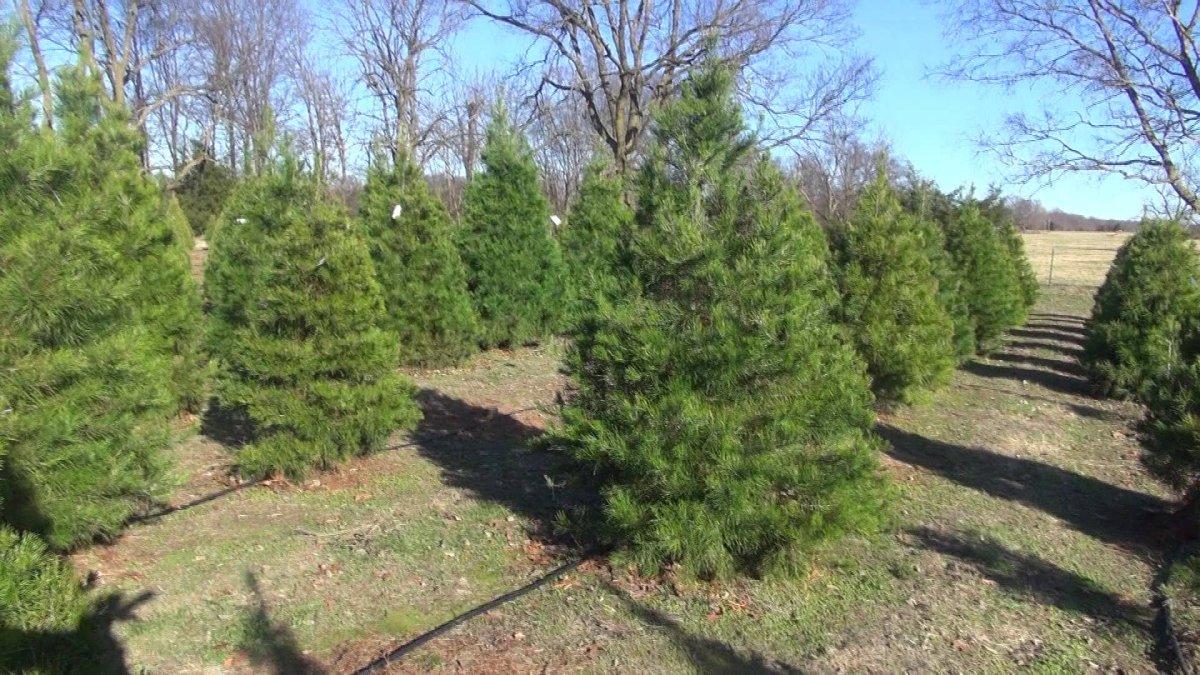 28+ [ Wonderland Christmas Tree Farm Pea Ridge Arkansas ...