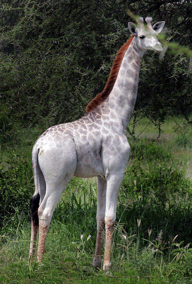 Albino(ish) Giraffe