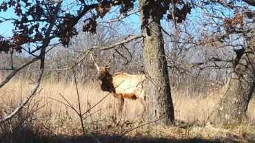 celebrity elk