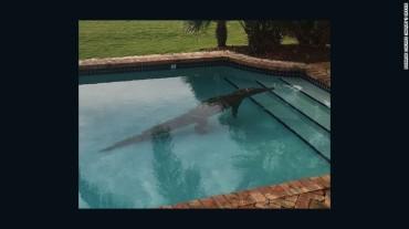 Pool croc
