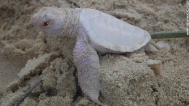 Alby The Albino Turtle