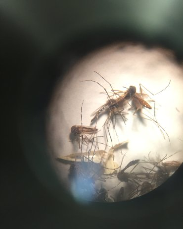 The mosquito Aedes Aegypti as seen through a microscope. The main culprit in the spread of Zika as well as other viruses.