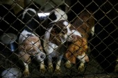 Beagles peer from their soiled cage during an animal rescue, Thursday, March 3, 2016, in Madison Co., Arkansas. (Brandon Wade/AP Images for The Humane Society of the United States)