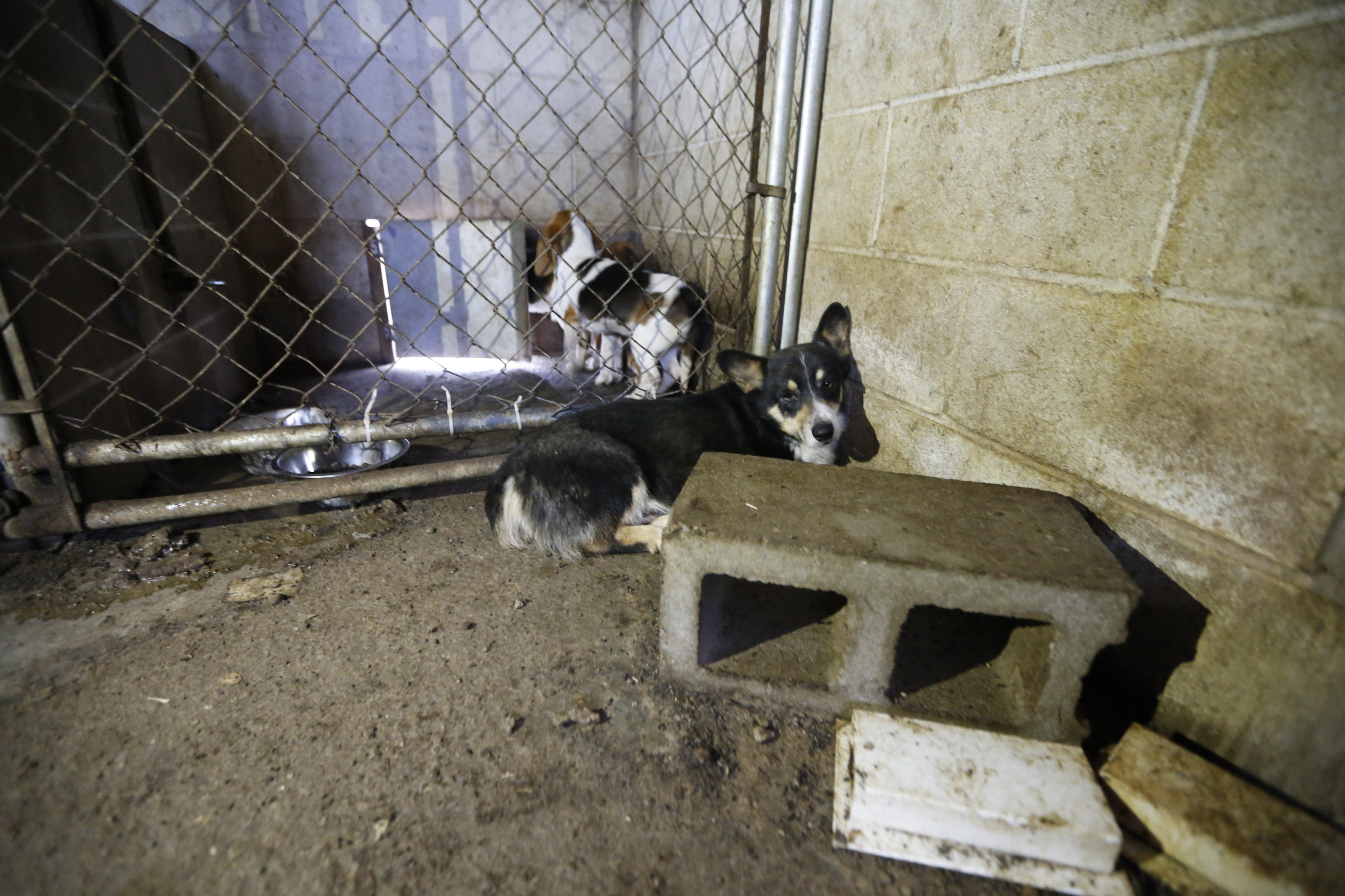 A Corgi, front, and a Beagle in a cluttered barn during an animal rescue, Thursday, March 3, 2016, in Madison Co., Arkansas. (Brandon Wade/AP Images for The Humane Society of the United States)