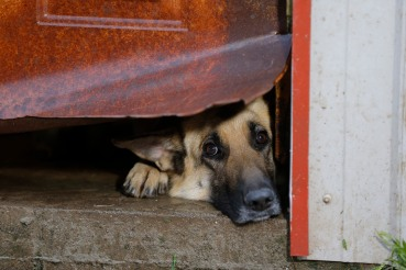 A German Shepherd peers through a ragged tear in a metal door to the barn she lives in during an animal rescue, Thursday, March 3, 2016, in Madison Co., Arkansas. (Brandon Wade/AP Images for The Humane Society of the United States)