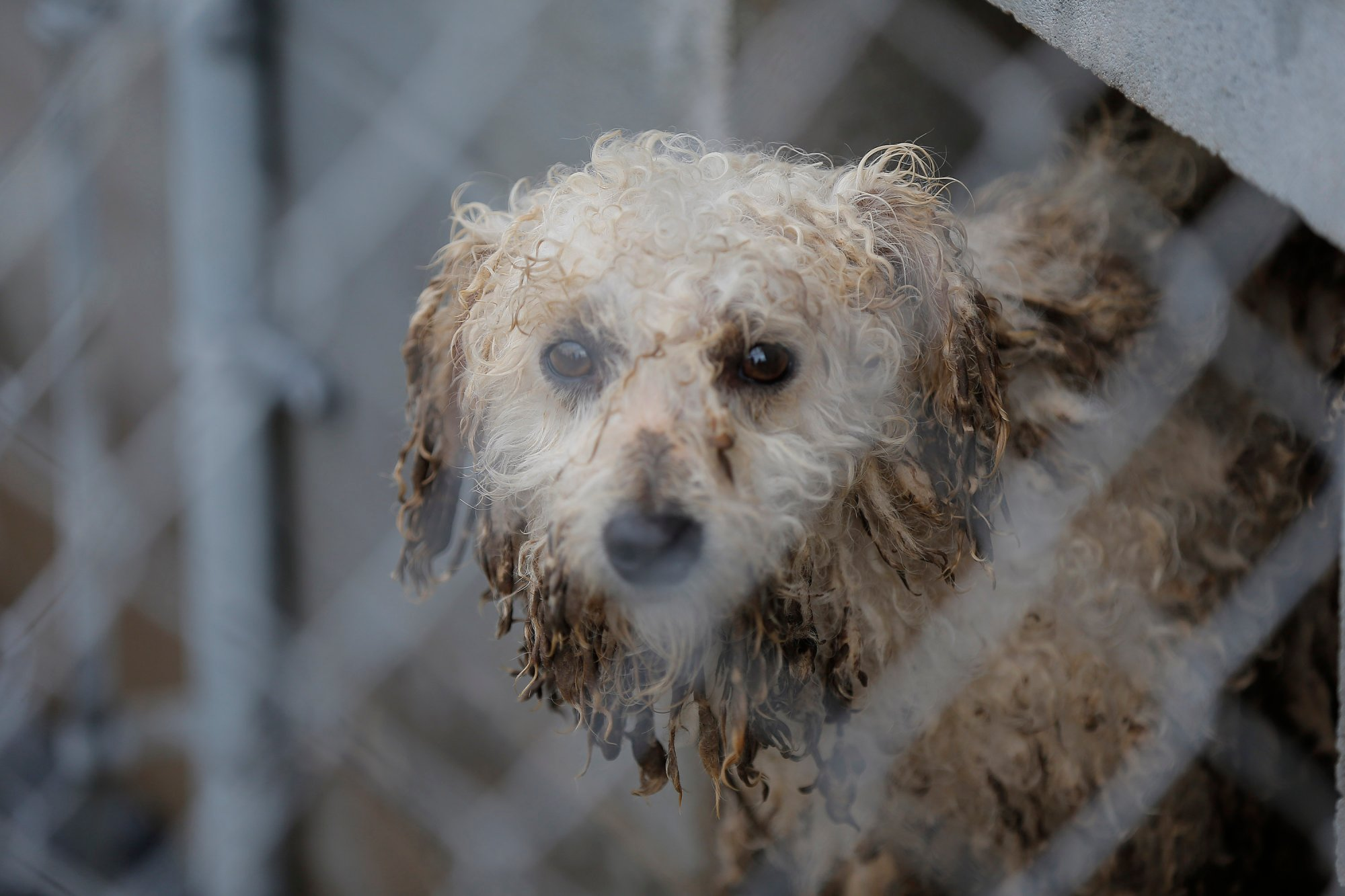 A muddy mid-sized dog watches during an animal rescue, Thursday, March 3, 2016, in Madison Co., Arkansas. (Brandon Wade/AP Images for The Humane Society of the United States)