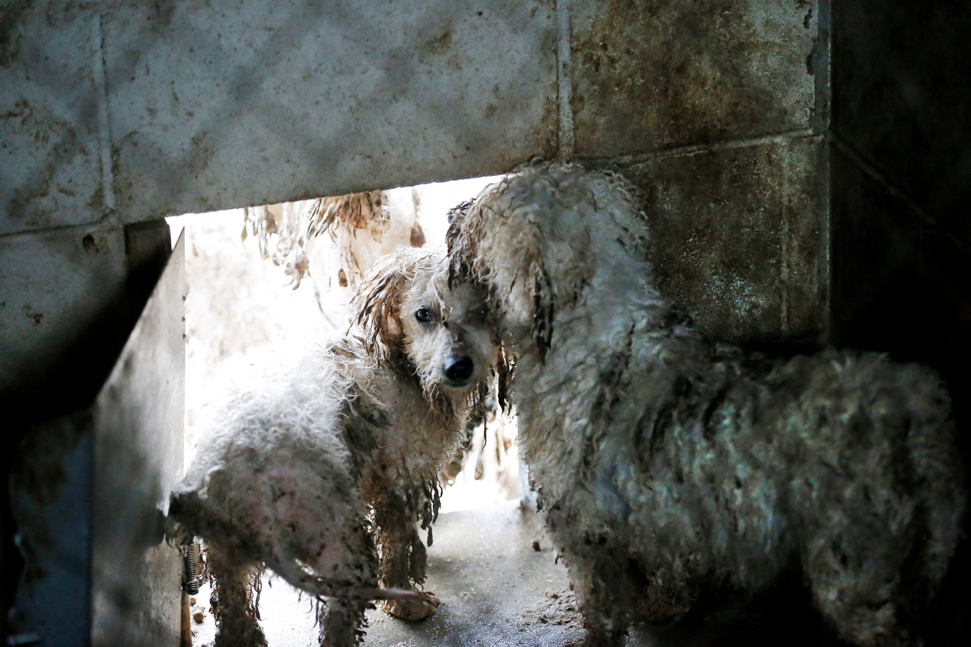 Medium sized dogs pause in the doorway of their mud-filled pen during an animal rescue, Thursday, March 3, 2016, in Madison Co., Arkansas. (Brandon Wade/AP Images for The Humane Society of the United States)