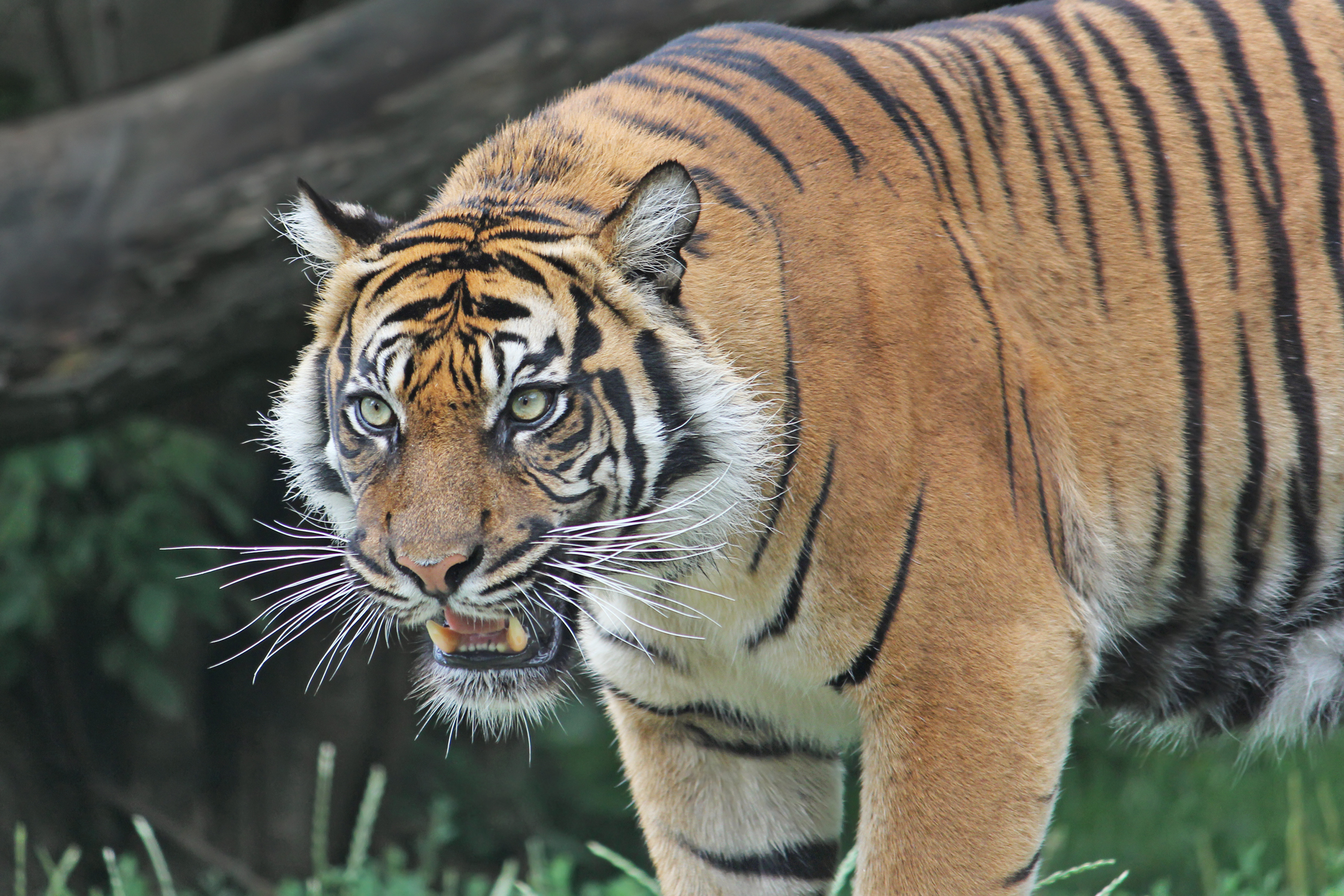 Sumatran Tiger snarls.
