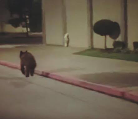 Bear spotted near Central Mall.