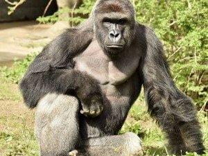 d8bcd04ba1e54 Was Shooting A Rare Gorilla The Only Option For Cincinnati Zoo ...