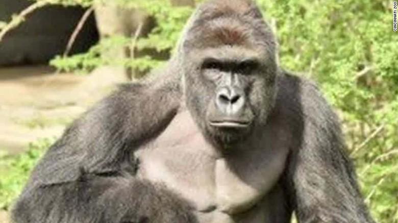 160530152004-cincinnati-zoo-gorilla-harambe-death-presser-bts-nr-00000325-exlarge-tease