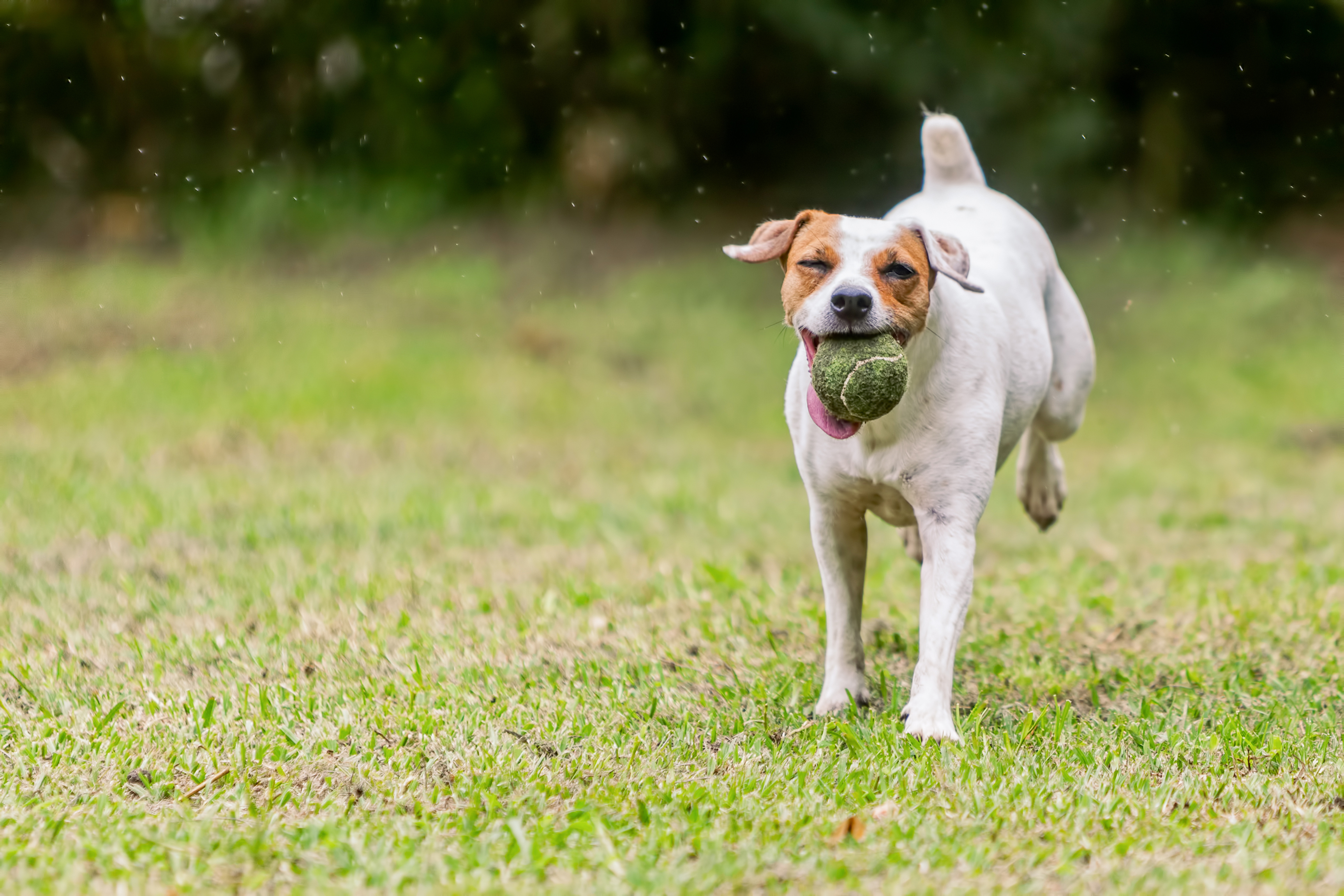 Jack Russell Terrier Running tennis ball