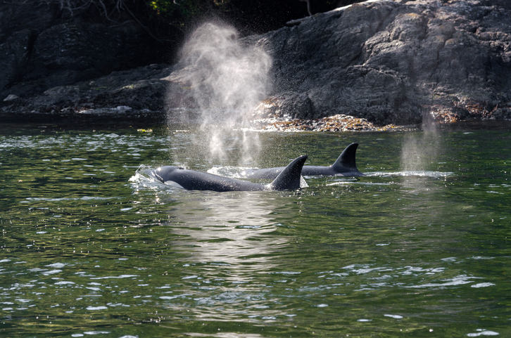 killer whales herd in Canada
