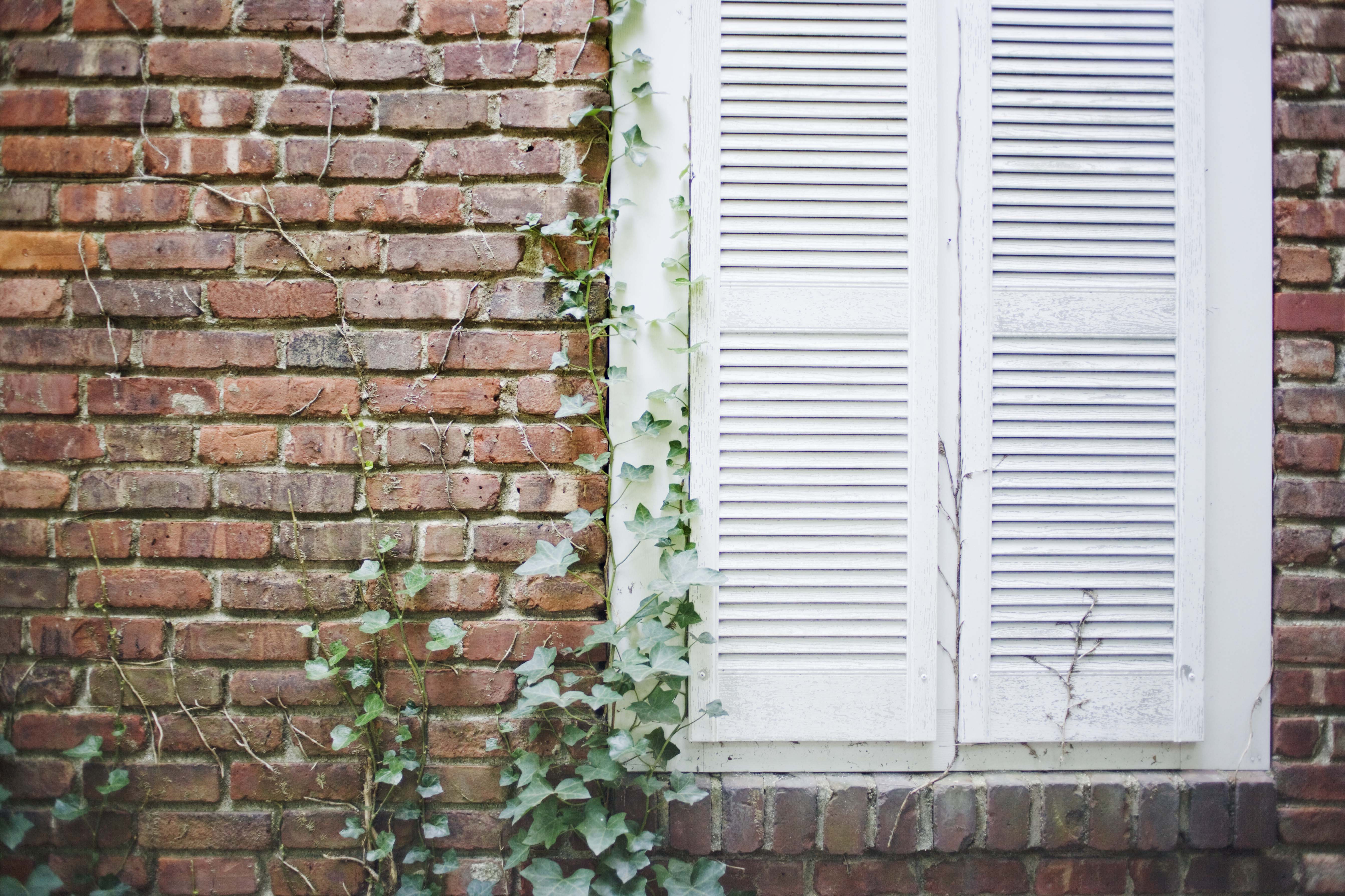 Vine Shuttered window of brick house with ivy growing on it