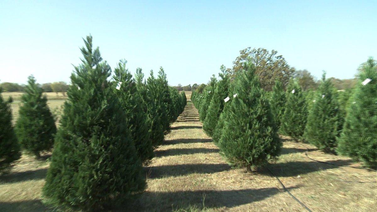 Christmas Tree Farm Arizona.Charleston Christmas Tree Farm Prepares For Holiday Season