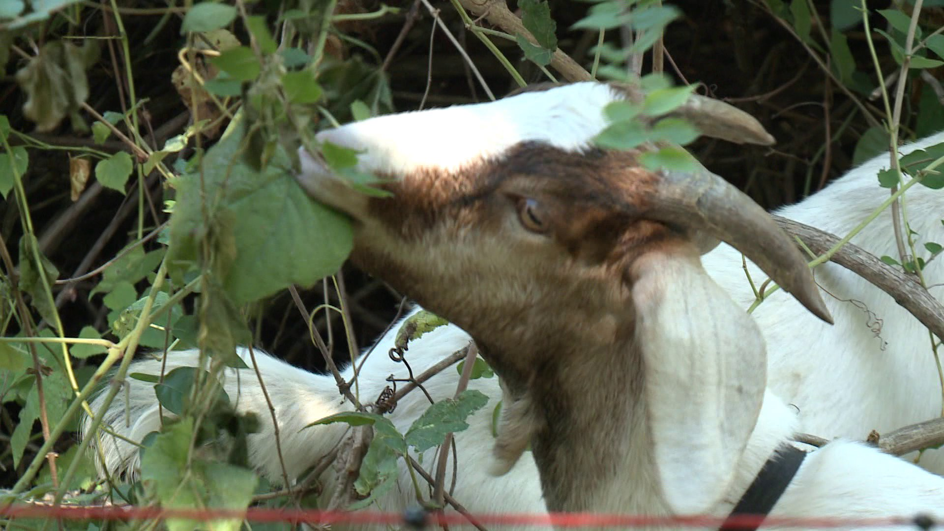 greedy-goats-munching