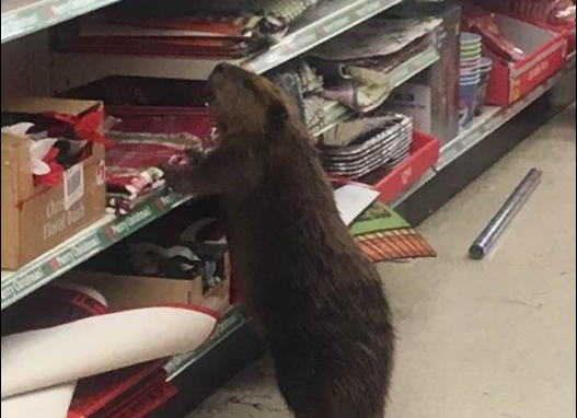 naughty-vandal-beaver