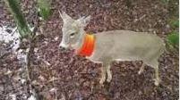 orange-deer