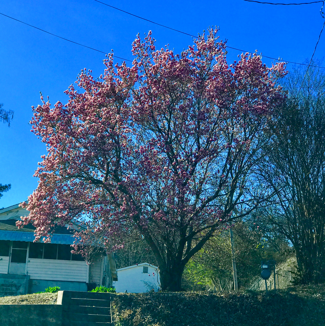 UserName:Rosanna Stubbs UserEmail:rosannastubbs@yahoo.com PhoneNumber:4792081556 Description:This was taken 2-15-17 in Van Buren. If it freezes again what will become of all the blooming trees etc.?? I've seen several blooms on interstate as well.
