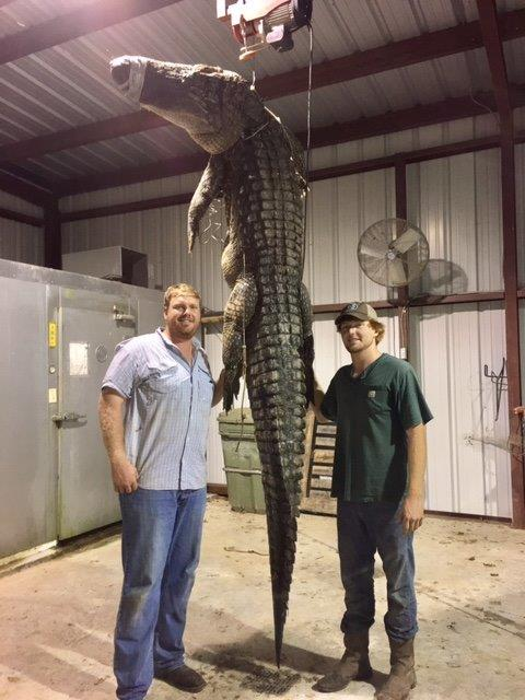 UA Student Bags Giant Alligator In SE Arkansas   Fort Smith