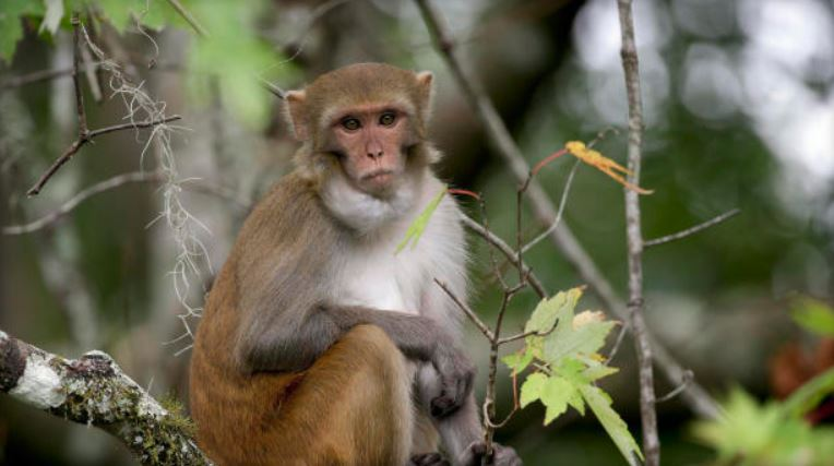Roaming Florida monkeys excrete virus that can kill you, study finds